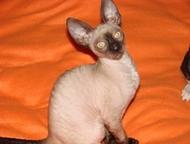 Котята корниш рекс Питомник «Арискудр» предлагает котят породы корниш рекс, возр