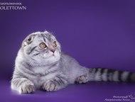 Ждём кошечек Красивый шотландский вислоухий котик, с хорошей родословной, имеет