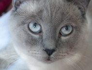 Вязка, ждем кошечку Опытный британский котик , окрас поинт приглашает невест для