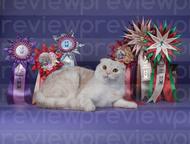 Кот для вязки, Шотландский вислоухий кот ищет кошечку Предлагается для вязки мол