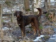 Метис курцхаара, серьезный пес для серьезных людей Ищет дом крупный метис курцха