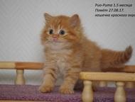 Чистокровные британские котята разных окрасов В питомнике британских кошек «Sozv
