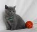 """Фото в Кошки и котята Продажа кошек и котят Питомник """"Bri Tany*Ru"""" предлагает воспитанных в Санкт-Петербурге 0"""