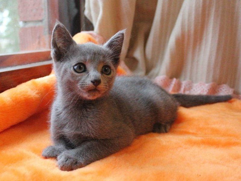 Питомник русских голубых кошек в санкт-петербурге