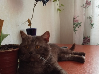 Скачать бесплатно фотографию  Отдам британского котика 38518759 в Саранске