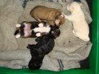 Фото в Собаки и щенки Продажа собак, щенков Мама той-терьр, папа - смесь той-терьера в Саратове 0