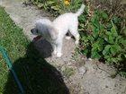 Новое фото Продажа собак, щенков Ищу девочку для белого той пуделя 4-х лет для случки 33855893 в Саратове