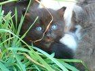 Фото в Кошки и котята Продажа кошек и котят Прекрасный чёрненький котёнок чистоплотный в Саратове 0