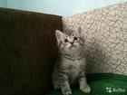 Фотография в Кошки и котята Продажа кошек и котят Котята чистокровные британцы, родились 30. в Саратове 1000