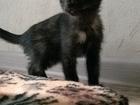 Изображение в Кошки и котята Продажа кошек и котят Срочно отдам в добрые руки кошечку, возраст в Саратове 0