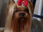 Скачать бесплатно фото Вязка собак Фантастически красивый мальчик йоркширского терьера 36863309 в Саратове