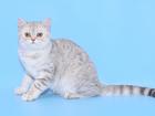 Фото в Кошки и котята Продажа кошек и котят Котенок шотландский к/ш, окрас голубой серебристый в Саратове 0