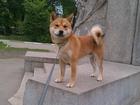 Фотография в Собаки и щенки Вязка собак Предлагаем для вязки кобеля Сиба-ину с отличной в Саратове 0