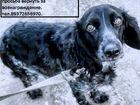 Фото в   Пропала собака Русский спаниэль. сука. Чёрно-белая. в Саратове 0