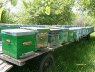 пчелосемьи продам Продам сильные пчелосемьи карпатской породы (25 штук) в Тамбос