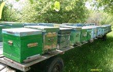 пчелосемьи продам