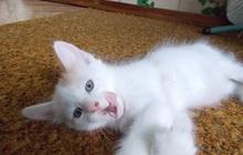 котенок, продажа