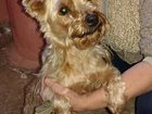 Скачать фотографию  найдена собака,сука,породы йоркширский терьер 32464531 в Серпухове