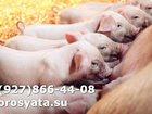 Увидеть изображение Другие животные Поросятана продажу 34083025 в Серпухове