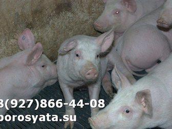 Уникальное изображение Другие животные Поросята отъемыши 34267653 в Серпухове