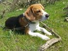 Скачать бесплатно изображение Вязка собак Кобель породы бигль с родословной и прививками ищет невесту  32557374 в Севастополь