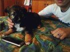 Фотография в Собаки и щенки Продажа собак, щенков Милый и добрый щенок, игривый, ласковый, в Севастополь 0