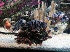 Фото в Рыбки (Аквариумистика) Аквариумные рыбки Продам мальков от 2 см (4 мес) цихлиды Алунокара в Севастополь 100