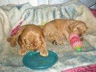 Фотография в Собаки и щенки Продажа собак, щенков Очаровательные щенки англ. кокер спаниеля в Северодвинске 7000