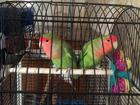 Фото в Домашние животные Птички Продам Неразлучников вместе с клеткой. Самец в Северодвинске 4000
