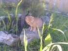 Изображение в   Рыженький котенок, 2 месяца, мальчик, очень в Северодвинске 0