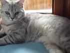 Новое фотографию Вязка Кот для вязки 37458460 в Симферополь