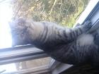 Скачать foto Вязка кошек Вислоухий котик( для вязки), 55670618 в Симферополь