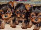 Изображение в Собаки и щенки Продажа собак, щенков щенки, мини, 2 мальчика и 1 девочка, рожд. в Смоленске 9000