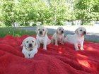 Фото в Собаки и щенки Продажа собак, щенков Предлагаем к продаже элитных щенков лабрадора в Смоленске 16000