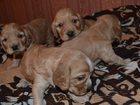 Фотография в Собаки и щенки Продажа собак, щенков рождения 18 мая, уже сами кушают , хвосты в Смоленске 7000