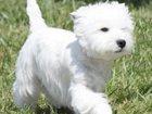 Фотография в Собаки и щенки Продажа собак, щенков Продаются высокопородные щенки West highland в Смоленске 35000
