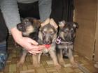 Фотография в Собаки и щенки Продажа собак, щенков щенки чёрно рыжего окраса из питомника Смоленская в Смоленске 8000