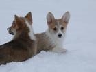 Фото в Собаки и щенки Продажа собак, щенков Замечательный весёлый, активный парень ищет в Смоленске 55000