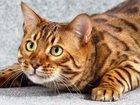 Просмотреть фотографию  Бенгальский кот для вязки 68182053 в Смоленске