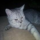 Шотландский кот прямоухий вискас