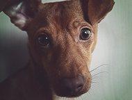 Предлагается для вязок той-терьер Вязка с той-терьером в Смоленске. Собаке 1 год