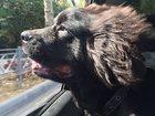 Фото в Собаки и щенки Продажа собак, щенков Ньюфаундленд, мальчик. Родился 27. 02. 2015. в Сочи 19500