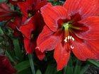 Фотография в Домашние животные Растения Гиппеаструм красного цвета. Цветет один раз в Сочи 100