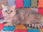 Фото в   Шотландский прямоухий кот. Клубный, с родословной. в Сочи 3000