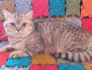 Шотландский кот Шотландский прямоухий кот. Клубный, с родословной. Чемпион. Черн