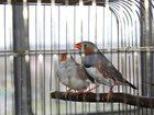 Foto в Домашние животные Птички Продам взрослых и молодняк зебровых амад в Старом Осколе 400