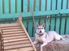 Изображение в   Пропала собака в районе Ямской церкви! Просьба в Старом Осколе 0