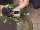 Фотография в   продам 3 щенков восточно европейской овчарки в Старом Осколе 0