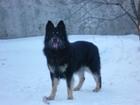 Фотография в Собаки и щенки Вязка собак Немец, красавчик, окрас черный, вес 50 кг. в Ставрополе 0