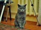 Новое фото Вязка кошек Британец ищет кошечку для вязки 40035124 в Ставрополе